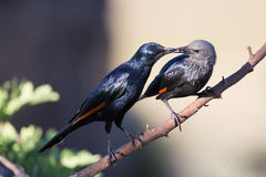 Pair of red winged starlings wit on branch busy with courtship Royalty Free Stock Images