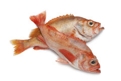 Pair of redfishes. On white background Royalty Free Stock Photo
