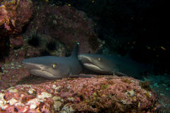 Pair of reef sharks Stock Image