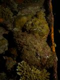 Pair of Reef Stonefish Royalty Free Stock Images