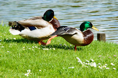 Pair of relaxing mallard ducks near pond Royalty Free Stock Photography