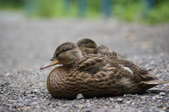 Pair of resting ducklings. Two ducklings resting together on a summer day Royalty Free Stock Images