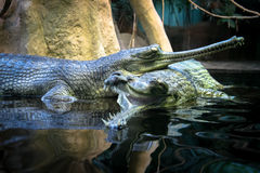 Pair of resting gharials in water Stock Image