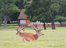 Pair of resting stags Stock Photo