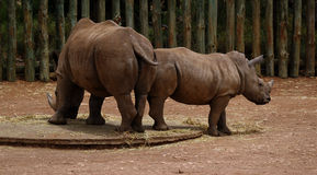 A pair of rhinoceros. At Monarto zoo stock images