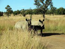 A pair of rhinoceros Royalty Free Stock Photo