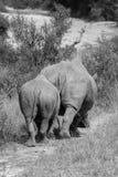 Pair of Rhinos Stock Photo