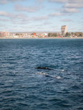 Pair of Right Whales In Front Of Puerto Madryn Royalty Free Stock Image
