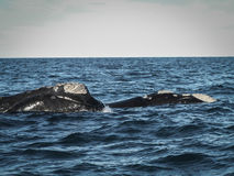 Pair Of Right Whales Up Close Royalty Free Stock Images