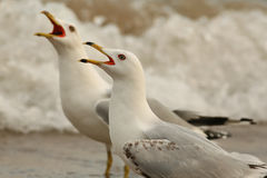 Pair of Ring Billed Gulls Calling Stock Images