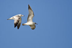 Pair of Ring-Billed Gulls Flying in a Blue Sky Royalty Free Stock Image
