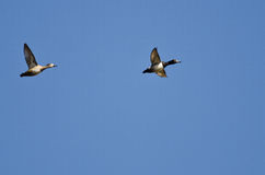 Pair of Ring-Necked Ducks Flying in a Blue Sky Stock Photos