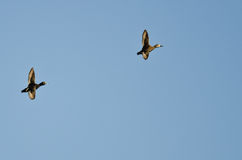Pair of Ring-Necked Ducks Flying in a Blue Sky Stock Images