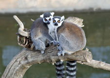 A Pair of Ring Tailed Lemurs. Sitting on a branch Royalty Free Stock Image