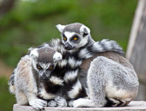 Pair of Ring-tailed Lemurs Snuggling Royalty Free Stock Photography