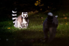 Pair of ring-tailed lemurs. Two of lemurs, one in the sun, one in the shade Royalty Free Stock Image
