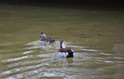 Ringed Teal Ducks Stock Photo