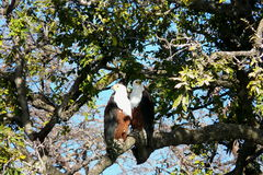 A pair of river eagles holding over a tree branch in Chobe National Park, Botswana Stock Photos