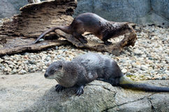 Pair of river otters Stock Photography
