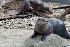 Pair of river otters Royalty Free Stock Photography