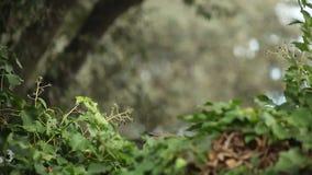 Pair of robins eating berries stock video