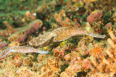 Pair of Robust Ghost Pipefish camouflaged into the reef Stock Photos