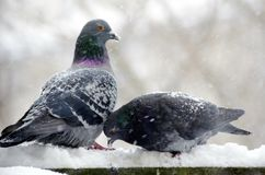 Pigeons in Snow Royalty Free Stock Photos