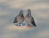 Pair of rock pigeon Royalty Free Stock Photo