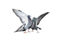 A pair of rock pigeons cooing and kissing spread its wings and feathers Stock Images
