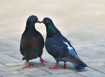 The pair of rock pigeons. Stock Photography