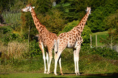Pair of Rothschild's Giraffes Stock Images