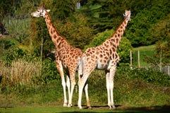 Pair of Rothschild's Giraffes. Giraffe Pair, back to back, Rothschild's Giraffe, Giraffa Camelo pardalis Rotohschildi (Necks forming unusual V pattern Stock Images