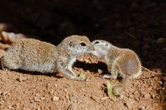 Pair of Round Tailed ground squirrels mother and baby, nuzzling each other, on desert ground. Pair of Round-tailed ground squirrels xerospemuphilus tereticaudus stock photos