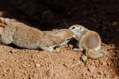 Pair of Round Tailed ground squirrels mother and baby, nuzzling each other, on desert ground. Pair of Round-tailed ground squirrels xerospemuphilus tereticaudus stock photo