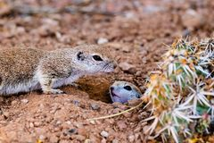 Pair of Round Tailed ground squirrels mother on guard, baby emerging from hole. Pair of Round-tailed ground squirrels xerospemuphilus tereticaudus, In Arizona`s royalty free stock images