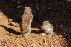 Pair of Round Tailed ground squirrels; mother standing guard while baby eats. Pair of Round-tailed ground squirrels xerospemuphilus tereticaudus, in Arizona`s stock photo