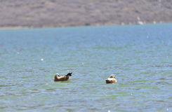 A pair of ruddy shelduck swimming in the plateau lakes. royalty free stock photography
