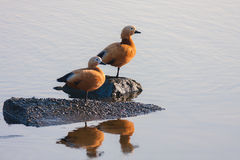 Pair of ruddy shelduck (Tadorna ferruginea). Known in India as the Brahminy duck is a member of the family Anatidae Royalty Free Stock Images