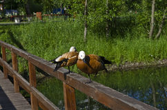 A pair of Ruddy Shelducks. Royalty Free Stock Photos