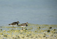 A pair of Ruddy Turnstone Stock Photo