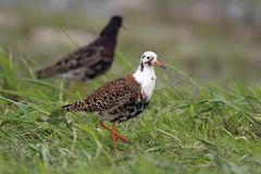Pair of Ruff birds on grassy wetlands during a spring nesting pe. Riod Stock Photo