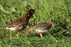 Pair of Ruff birds on grassy wetlands in spring season. Pair of Ruff birds on grassy wetlands during a spring nesting period Stock Images