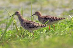 Pair of Ruff birds on grassy wetlands during spring season. Pair of Ruff birds on grassy wetlands during a spring nesting period Royalty Free Stock Images
