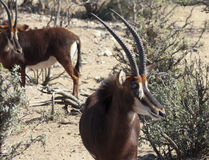 A Pair of Sable Antelope in the Bush Stock Images