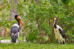 Pair Of Saddle-Billed Storks royalty free stock photography