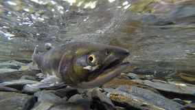 Salmon pair clear stream fish spawning mating wildlife. A pair of salmon spawn together for the last time in a northern stream stock video footage
