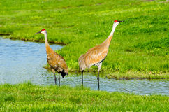 Pair of sand-hill cranes in a pond Stock Photography