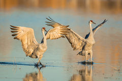 A pair of sandhill crane Royalty Free Stock Images