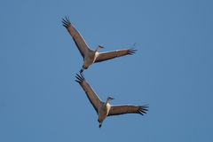 Pair of Sandhill Crane in Flight. A pair of Sandhill Crane fly overhead against a blue sky Royalty Free Stock Image