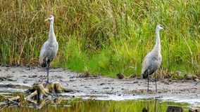 Pair Of Sandhill Crane royalty free stock image
